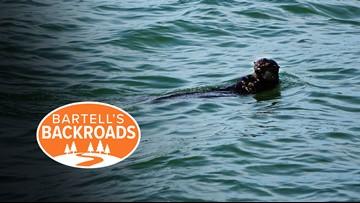 California sea otters find ocean paradise in Moss Landing | Bartell's Backroads