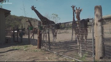 Safari West animals are safe from Kincade Fire, for now