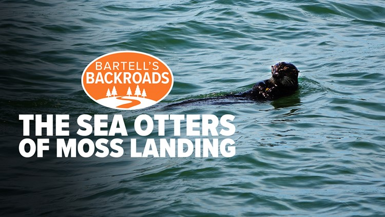 California sea otters find ocean paradise in Moss Landing   Bartell's Backroads