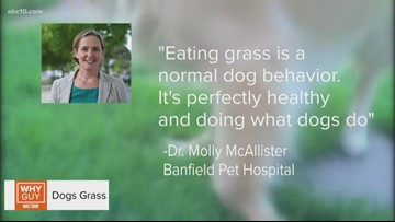 WHY GUY: Why do dogs eat grass?