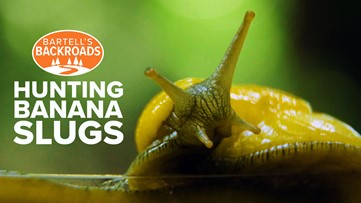 It's slime time! Hunting banana slugs in Santa Cruz | Bartell's Backroads