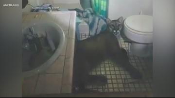 Mountain lion wanders into Tuolumne County house, lies down in bathroom