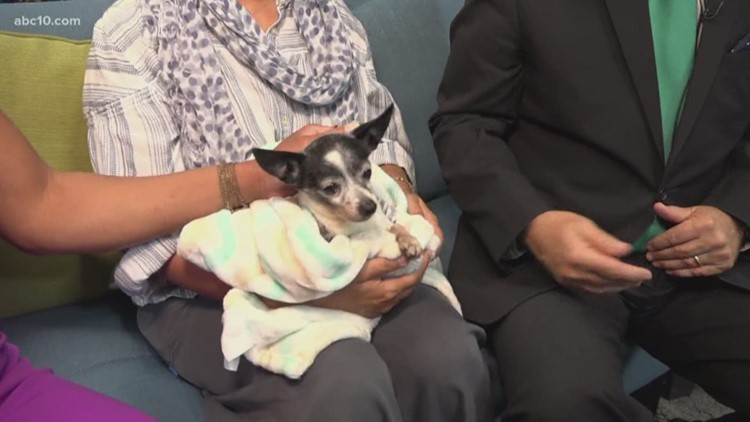 Pet of the Week: Timmy, the Chihuahua