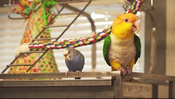 A parrot walks into a bar, is rescued by West Sacramento avian savior