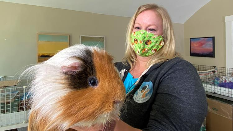 Rescuing one Guinea Pig at a time in Northern California   NorCal Strong
