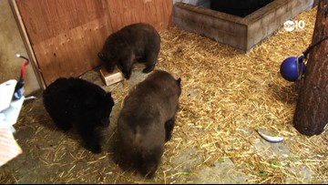 54 illegally caught trout were seized. So, these orphan bear cubs in Tahoe got to feast