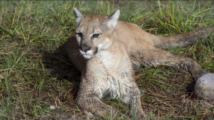 Solano County Sheriff's Office warns of mountain lions in the area