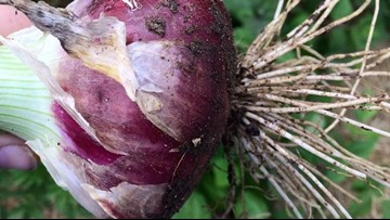 The Stockton Red Onion | Incredibly popular. Incredibly hard to find.