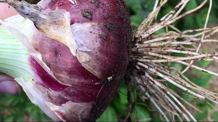 stockton red onion