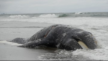 Dead gray whale in San Francisco was hit by a ship