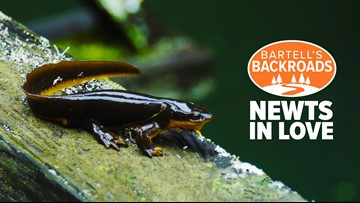 Valentine's Day starts early for California newts at Filoli | Bartell's Backroads
