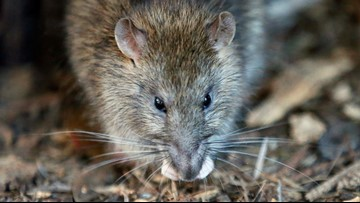 California man, 96, found in home with up to 700 rats