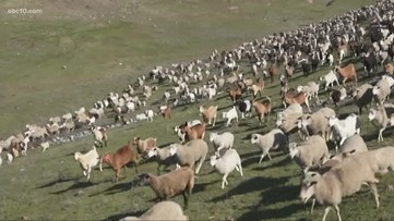 Goats, sheep helping prevent future wildfires by clearing out open space in Rocklin