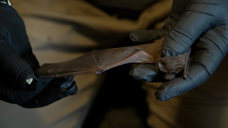 How one Sacramento area woman is saving bats and correcting misconceptions
