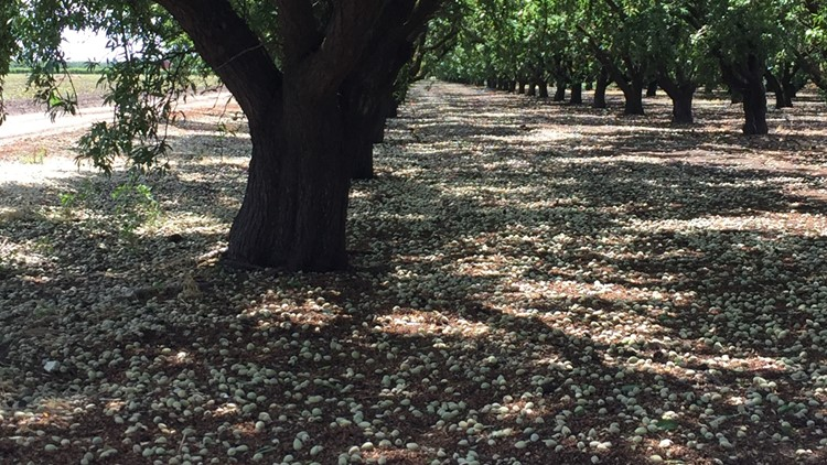 091219 almond orchard turlock stink bug damage