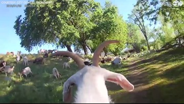 GOAT PRO | Camera shows West Sac Goats hard at work