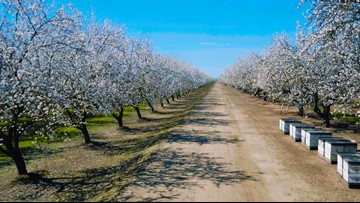 Inside the California almond bloom | Fast facts on almonds and the 'valley snow'