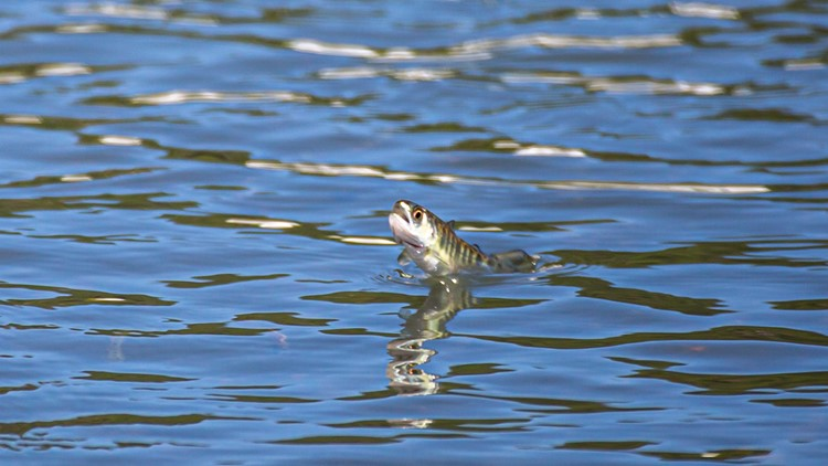 Salmon shortage in Sacramento River due to heat