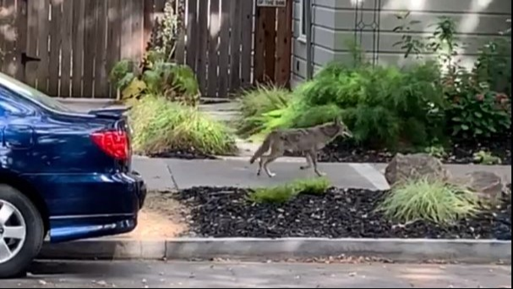 WATCH: Coyote takes walk in Midtown Sacramento