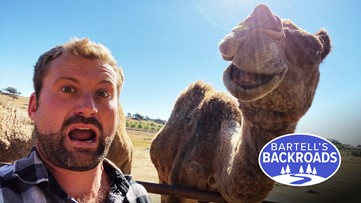 Every day is hump day at this California camel dairy and rescue center   Bartell's Backroads