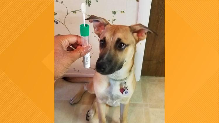 Dog DNA cheek swab