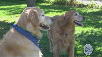 Homeward Bound: Golden Retriever Rescue