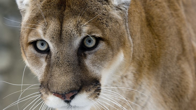 Mountain lion spotted in Citrus Heights