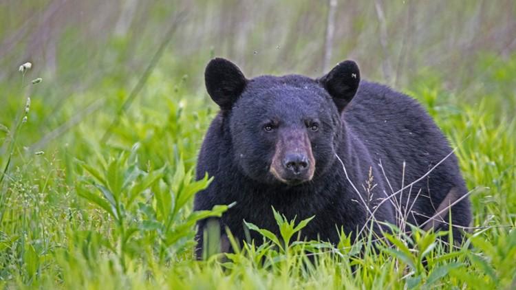Beloved Folsom City Zoo Sanctuary black bear, Marty, has passed away