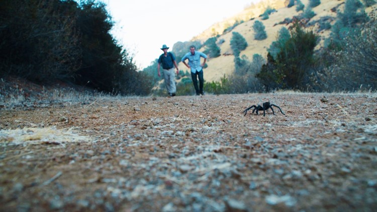 Tarantula migration - Diablo State Park, Walnut Creek