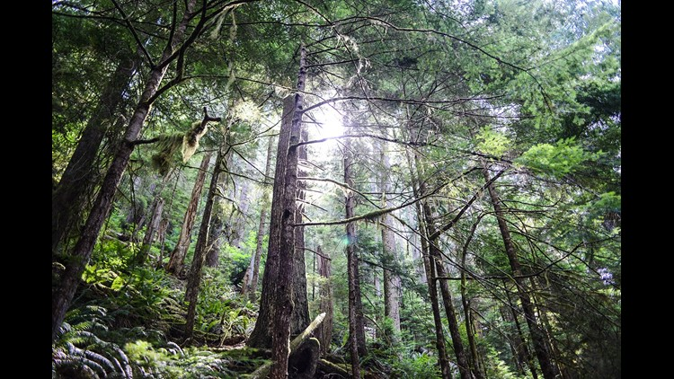 Towering trees within Washington's Olympic National Park. (Photo by Darren Murph / The Points Guy)