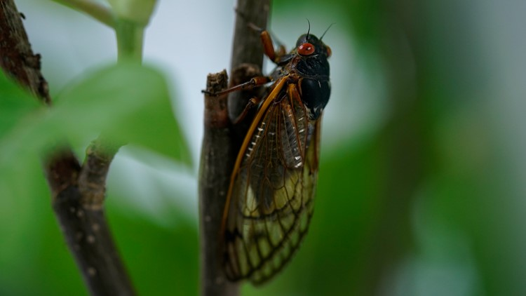 Cicada fast facts: What's true and false about Brood X