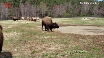 Watch This 800-Pound Bison Do Its 'Happy Dance' For The First Day of Spring