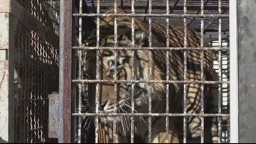 Two Tigers Rescued From A Cramped Truck Are Able To Roam Free At Polish Zoo