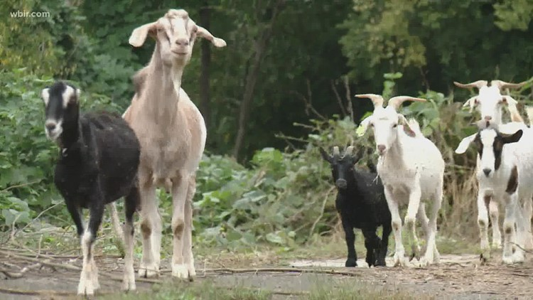Herd of goats headed to a Tennessee college to clear land ahead of homecoming