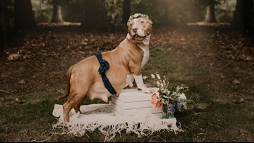 Pregnant rescue pitbull has maternity shoot just days before giving birth