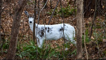 Oh, 'deer'! Man spots rare piebald deer in North Carolina