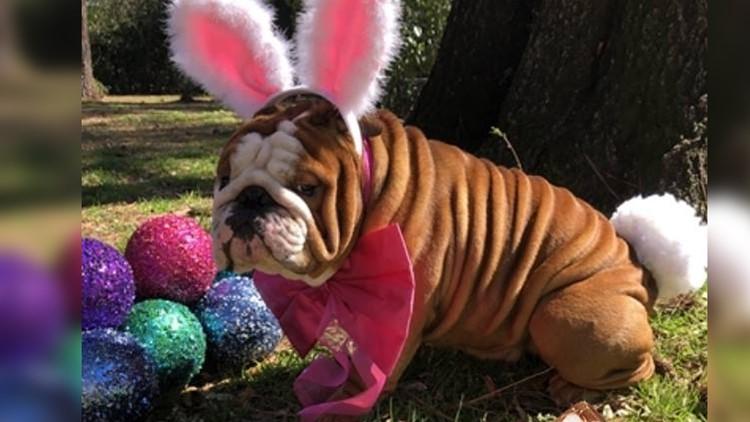 North Carolina bulldog named Cadbury's newest bunny