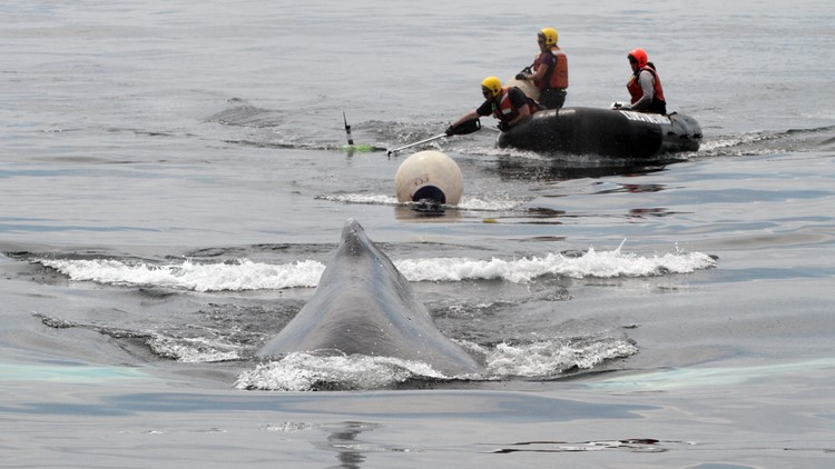 Tangled humpback whale rescued off coast of Boston