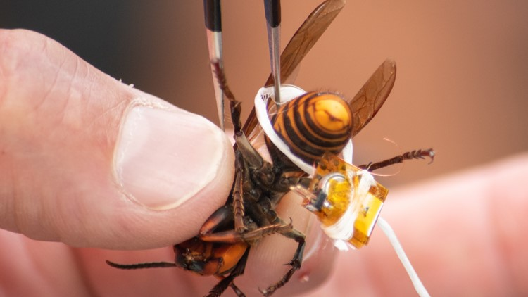 Strapping dental floss on a 'murder hornet' | Why that's a big deal