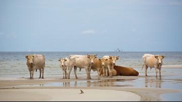 Cows cast away by Hurricane Dorian found alive in North Carolina